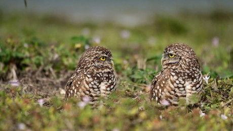 Burrowing Owls via Flickr